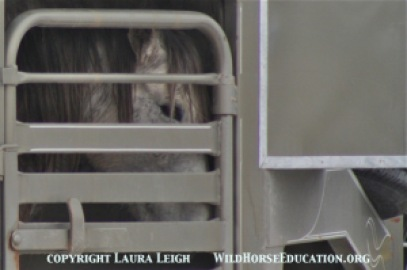 Stallion leaves the Diamond Complex to become one of nearly 50,000 captive American Wild Horses