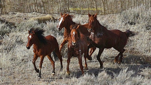 Horses run to a lather at Antelope in sub freezing weather... we should never see this again, ever