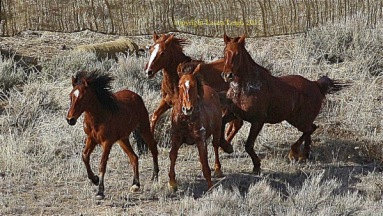 Horses run to a lather at Antelope in sub freezing temperatures