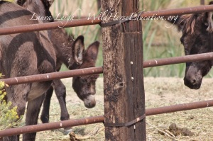 """The """"littlest"""" of the burros in holding at Virgin Valley"""