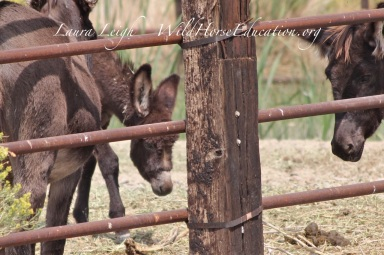 "The ""littlest"" of the burros in holding at Virgin Valley"