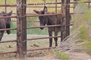 Sheldon burro