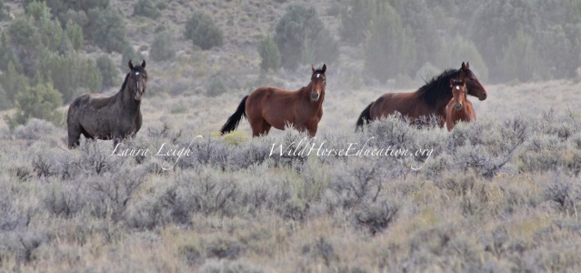 Wild Horses near Eureka Nevada. Help us to fight for wild horses and burros still free on the range.