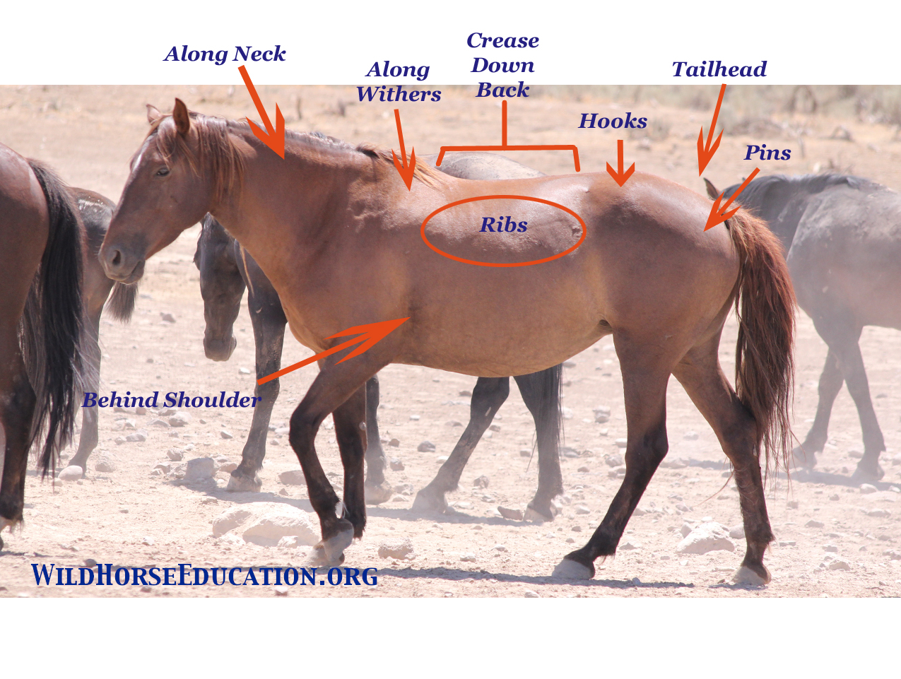 Body Scoring And The Wild Horse Wild Horse Education