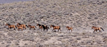 Carter horses are forced off HMA in search of forage and water.