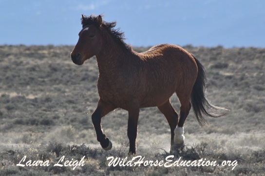 A Nevada wild horse. There are still wild curlies in the American West.