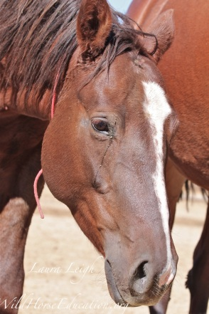 "3 year old wild horse with ""three strikes"" against her in the adoption program, the fate of more than 90% of wild horses removed in the last 5 years"