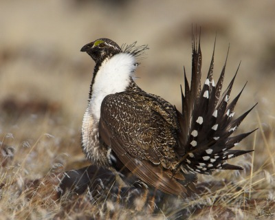 Picture from USFS website. The greater sage grouse, the most powerful bird in the West. Sage grouse listing is on the horizon and has started a literal