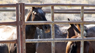 2010 Wild Horses at the trap taken only after a call to DC