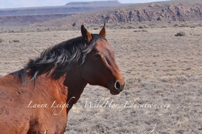 Good-bye old man... one of the very last Sheldon stallions on the range right before capture
