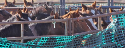 Wild Horses removed from the range to join almost 50,000 held in captivity