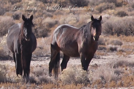 Stone Cabin stallion and one of his mares... still free on the range