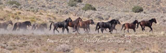 Rocky Hills wild horses reacting to vehicle movement