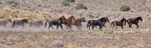Rocky Hills wild horses reacting to vehicle movement. Documentation was used to make recommendations for mitigation for mining exploration.