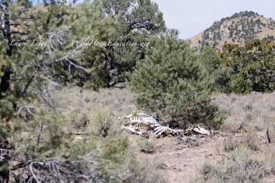 Portion of HMA not experiencing wild horse use. Photo of cow carcass.