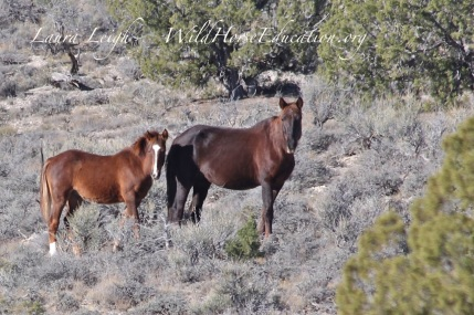 Photo of Silver King wild horses in the area of proposed removal taken earlier toady