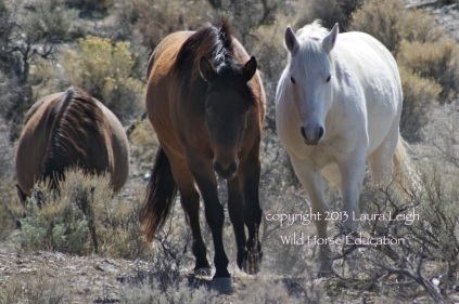 Deer Run wild horses from the Pine Nut HMA, removed in 2013