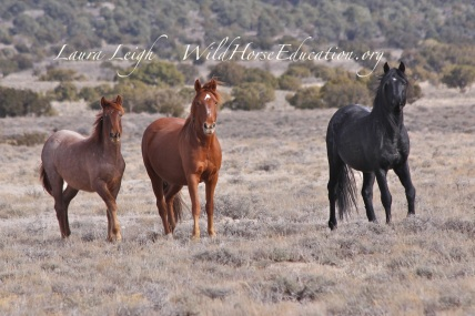 Winter 2014, Fish Creek wild horses. Raul and part of his family that has been captured. The roan yearling is in the trapsite adoption. Raul and his mare await their fate now scattered in BLM holding facilities.