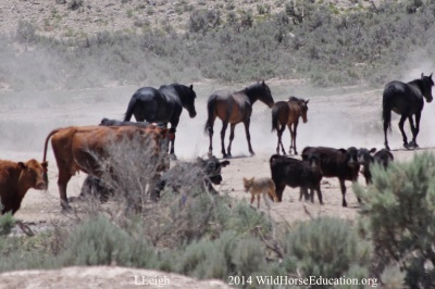 Cattle camped out at water as wild horses and other wildlife move in and out during drought at Fish Creek