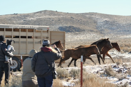 Thanksgiving Day release of Pine Nut horses in 2010 drew a crowd of locals