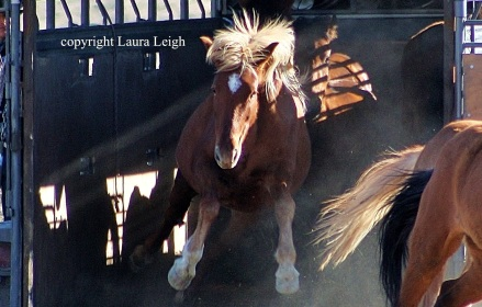 Wild horse leaps to freedom after treatment with fertility control in 2010 on Thanksgiving Day