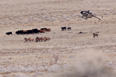 "Humbolt HA ""zero out"" 2015. Wild horses being driven past domestic cattle"
