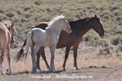Sarge's lead mare and two year old colt were permanently removed from Fish Creek.
