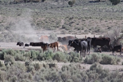 Trespass livestock in Fish Creek HMA 2014