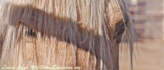 """Sarge,"" beloved stallion of Fish Creek now held hostage."