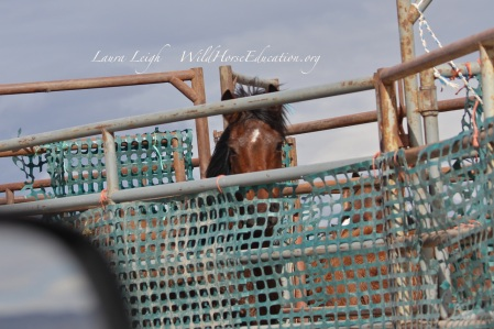 Newly captured wild horse in trap pen, Humbolt.