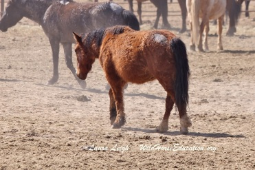 Pregnant curly mare awaits her fate in Broken Arrow