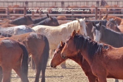 "Fish Creek mares at the ""off limits"" Broken Arrow facility. !% mares and foals still sit behind those walls in this ""hostage crisis."" Over 5% of the horses slated for release died between capture and April 2015 in holding."