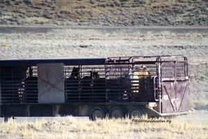 Fish Creek Stallions leaving the range instead of being released (Cathy Ceci)