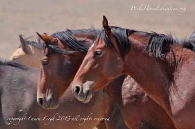 Snowstorm, wild horses heading for water