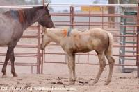 Photo of unbranded horses from the Fallon Livestock sale in 2013
