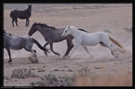 Release of wild horses back to Fish Creek 2015