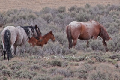 There future is now in our hands. (New family of released wild horses at Fish Creek)