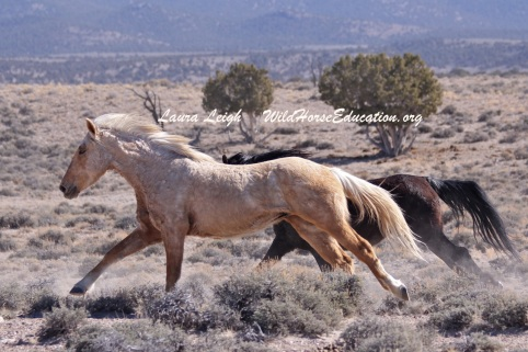 Fish Creek stallion Chad being rounded up by BLM contracted helicopter