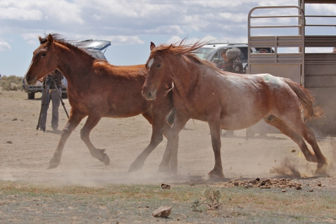 Ethel, a Fish Creek mare, on release day