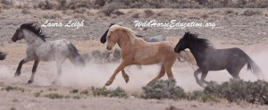 Fish Creek stallions run free once more