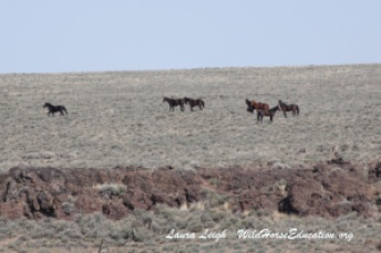 Horses on BLM administered land outside the Little Owyhee HMA in Nevada.