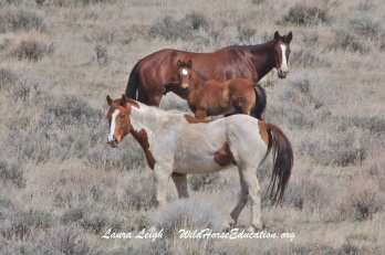 Horses on Forest Service administered land in the proposed project area for the upcoming August 2015 roundup and sale