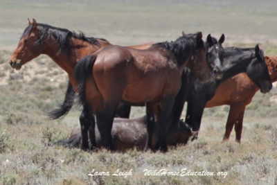 Herd watching over heavily pregnant mare
