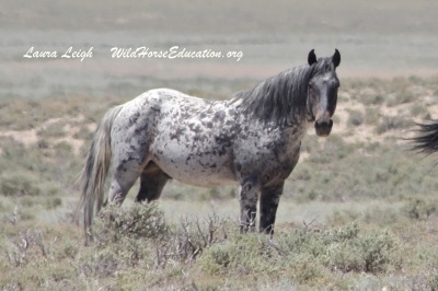One of Nevada's amazing wild horses