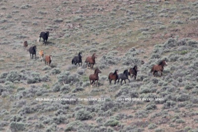 Wild horses follow trails to water off HMA at Little Owyhee