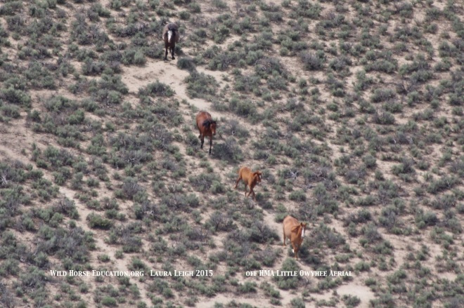 Family band of wild horses on trail leading out of HMA and into the