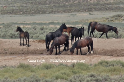 Wild horses at water source in Fish Creek
