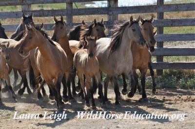 Riddle wild horses after capture at Burns corral
