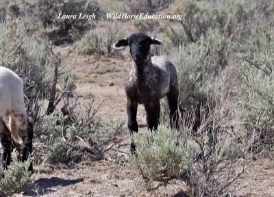 Most people think of cows when they think of public land ranching. However sheep are a huge part of grazing and sheep dogs are a presence that can not be overlooked