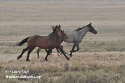 Wild horses inside the Fish Creek HMA